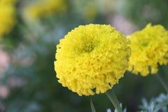 Flower. Yellow flower it& x27;s call marigold stock photos