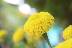 Flower. Yellow flower it& x27;s call marigold stock images