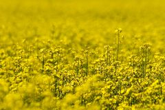 Yellow Flower's Field (2). Yellow Flower's Field, Estonia, near Tallinn (2 Royalty Free Stock Image