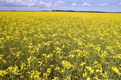 Yellow Flower's Field. Estonia, near Tallinn Stock Photography