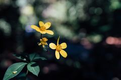Yellow Flower in SF Botanical Garden royalty free stock image