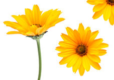 Yellow flower set. Closeup isolated on white background royalty free stock photography