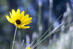 Yellow Flower. Sharp Yellow flower against a blurred background Royalty Free Stock Photos