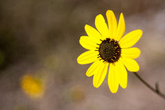 Yellow Flower. Sharp Yellow flower against a blurred background Royalty Free Stock Photo