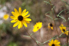 Yellow Flower. Sharp yellow flower against a blurred background Stock Photography