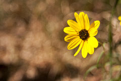 Yellow Flower. Sharp yellow flower against a blurred background Stock Photos