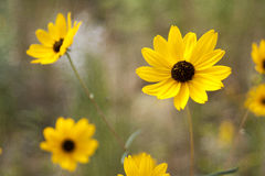 Yellow Flower. Sharp yellow flower against a blurred background Royalty Free Stock Images