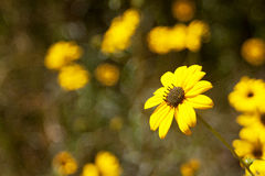 Yellow Flower. Sharp yellow flower against a blurred background Stock Image