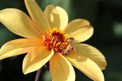 Yellow flower with single bee Royalty Free Stock Images