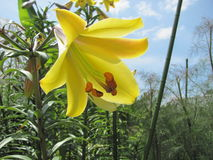 Yellow flower in the sky. A yellow flower with  the sky in the background Stock Image