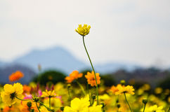 Yellow flower. And sky and mountain Royalty Free Stock Photography