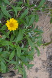 Yellow Flower. A small yellow flower on the beach, sand in the background along with a vibrant green foliage behind the flower. It has a rustic wild charm to it Stock Photo