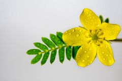 Yellow flower of small caltrops weed, isolated flower on gray ba. Ckground royalty free stock images