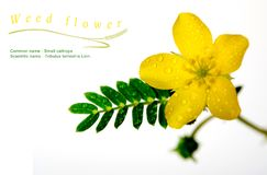 Yellow flower of small caltrops weed, isolated flower on white b. Ackground royalty free stock photography