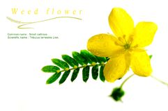 Yellow flower of small caltrops weed, isolated flower on white b. Ackground stock photography