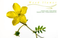 Yellow flower of small caltrops weed, isolated flower on white b. Ackground royalty free stock photos