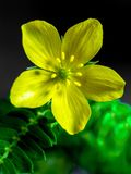 Yellow flower of small caltrops weed. Yellow wild flower of small caltrops weed royalty free stock image