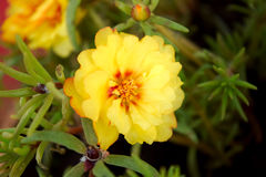 Yellow flower. Small yellow flowers carry such beauty Royalty Free Stock Images