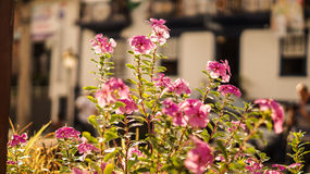 Yellow flower. Small traditional pink flowers of itabira - Golden Hour Royalty Free Stock Image