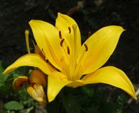 Yellow flower of the species lilium bulbiferum royalty free stock image