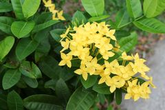Yellow Flower spike, Rubiaceae in a garden Royalty Free Stock Images