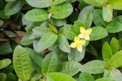 Yellow Flower spike, Rubiaceae in a garden Stock Photos