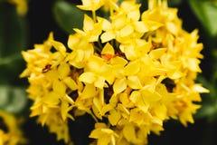 Yellow flower spike Rubiaceae Ixora coccinea in the garden Royalty Free Stock Image