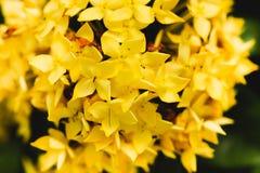 Yellow of flower spike Rubiaceae Ixora coccinea Royalty Free Stock Photo