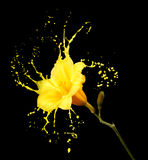 Yellow flower splashes Royalty Free Stock Photography