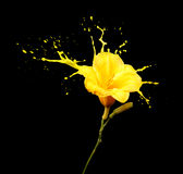 Yellow flower splashes Stock Photography