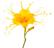 Yellow flower splashes Royalty Free Stock Image