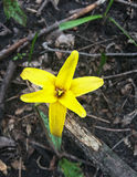 Yellow Flower. Spotted in the woods near Dearborn, Michigan Stock Images