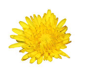 Yellow flower of spring Royalty Free Stock Image