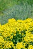 Yellow flower Spurge Royalty Free Stock Image