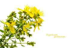 Yellow flower of St. John's wort, Hypericum perforatum, isolated. On a white background Stock Photos