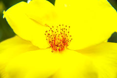 Yellow flower stamen pistil Stock Photos