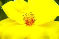 Yellow flower stamen pistil. Close-up stock photos