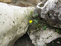 Yellow flower between stones. Little yellow flower growing between stones stock photo