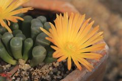 Yellow flower of conophytum longum herrei Stock Photos