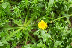 Yellow flower in summer meadow background Royalty Free Stock Photography