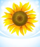 Yellow flower of sunflower Royalty Free Stock Photo