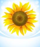 Yellow flower of sunflower Royalty Free Stock Photo