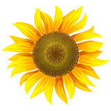 Yellow flower of sunflower Stock Image