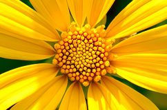 Yellow flower or Sunflower Royalty Free Stock Photography