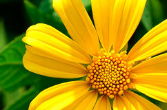 Yellow flower or Sunflower Royalty Free Stock Photo