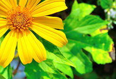 Yellow flower or Sunflower Royalty Free Stock Images