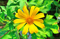 Yellow flower or Sunflower Stock Image