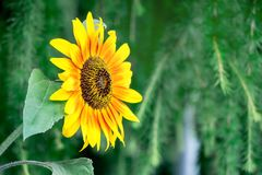 Free Yellow Flower Sunflower Closeup On A Green Blurry Background_ Royalty Free Stock Photos - 121878658