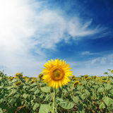 Yellow flower of sunflower on green field and clouds in blue. One yellow flower of sunflower on green field and clouds in blue sky Stock Photos