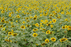 Yellow flower sunflower meadow field Stock Photography